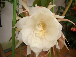 Beautiful Epiphyllum Prince of Romany Cutting Great Color Lg Flower Orchid Cactus